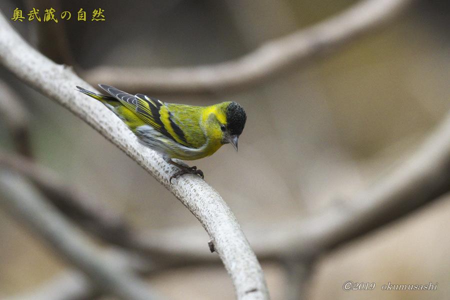 お山の冬鳥たち①_e0268015_21484295.jpg