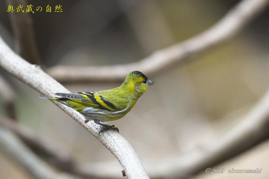 お山の冬鳥たち①_e0268015_21485321.jpg