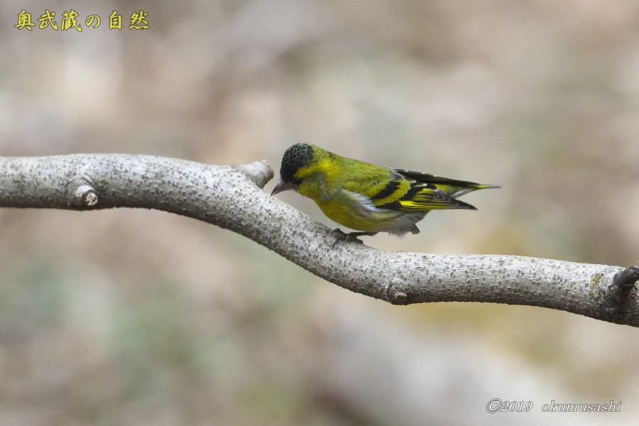 お山の冬鳥たち①_e0268015_21491095.jpg