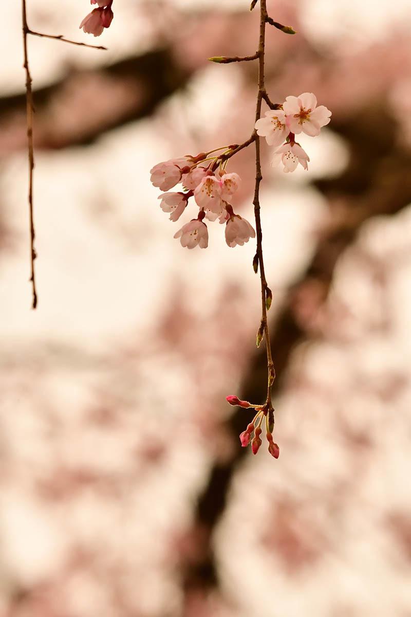 第11候 桜の花咲き始める_a0059621_21580802.jpg