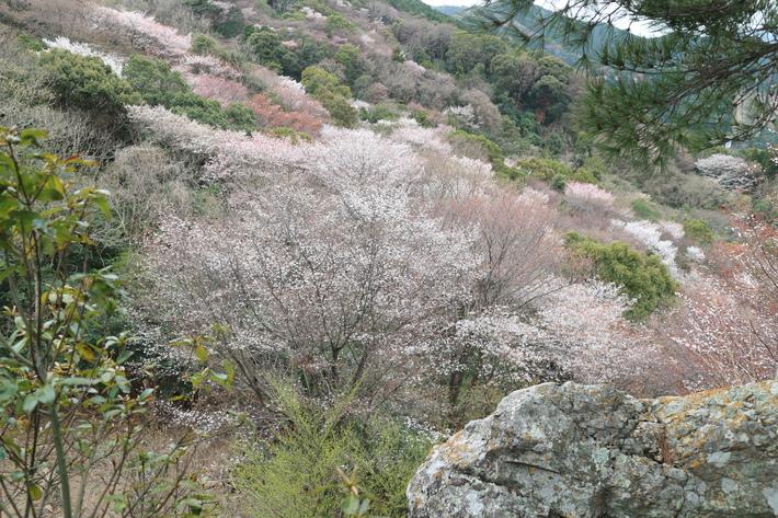 大岩の山桜&イワツツジ!_e0272335_1855512.jpg