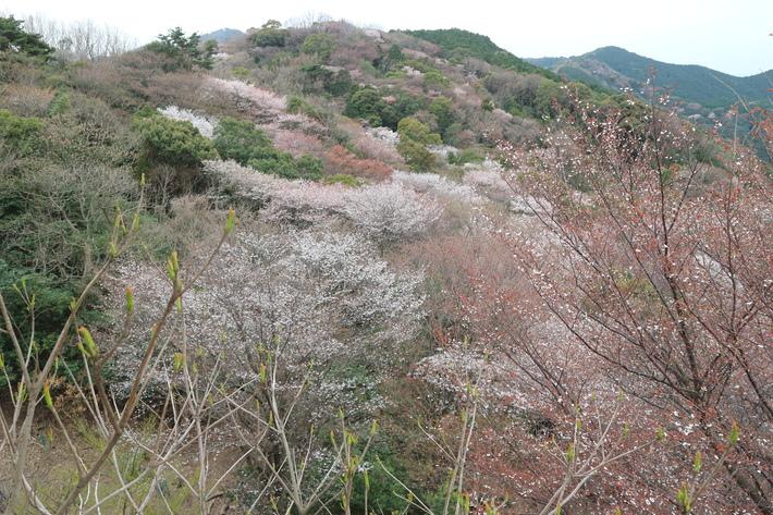 大岩の山桜&イワツツジ!_e0272335_1859122.jpg