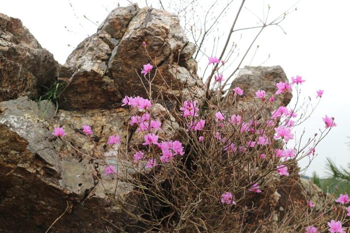 大岩の山桜&イワツツジ!_e0272335_1864165.jpg