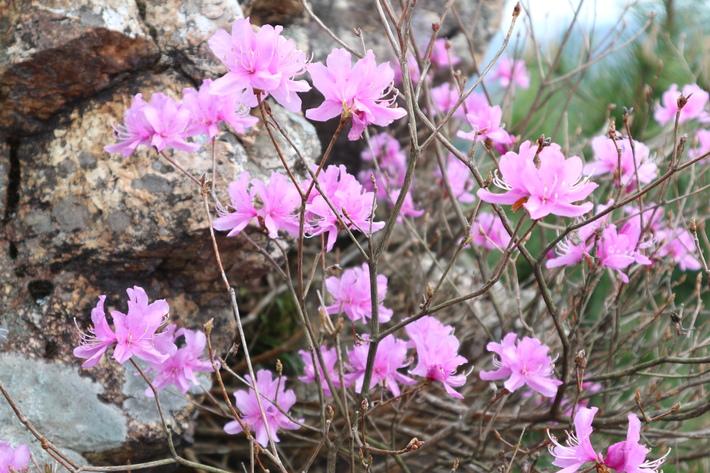 大岩の山桜&イワツツジ!_e0272335_1895973.jpg