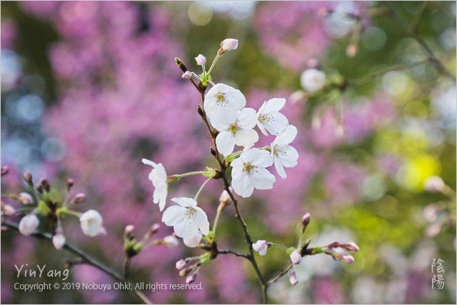 桜開花、東京_e0139738_11592654.jpg