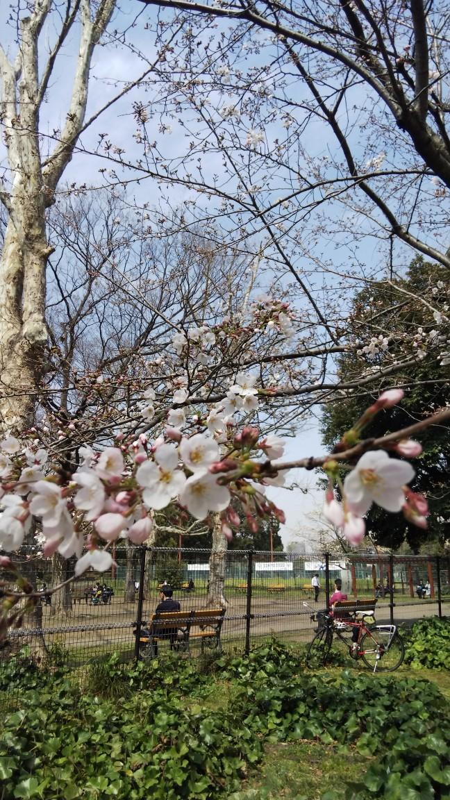190325 日比谷公園の桜_f0164842_23134338.jpg