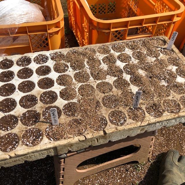 今日から トマト 茄子 の播種です ズッキーニは双葉に_c0222448_12551423.jpg