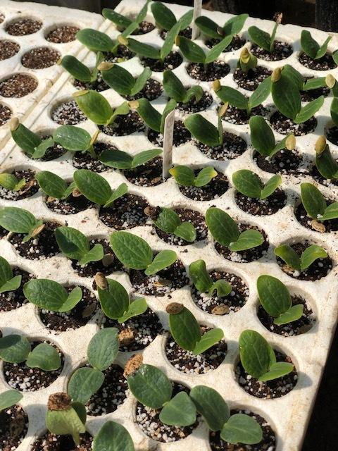 今日から トマト 茄子 の播種です ズッキーニは双葉に_c0222448_12560509.jpg