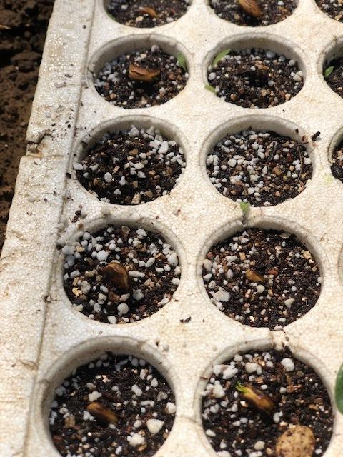 今日から トマト 茄子 の播種です ズッキーニは双葉に_c0222448_12563489.jpg