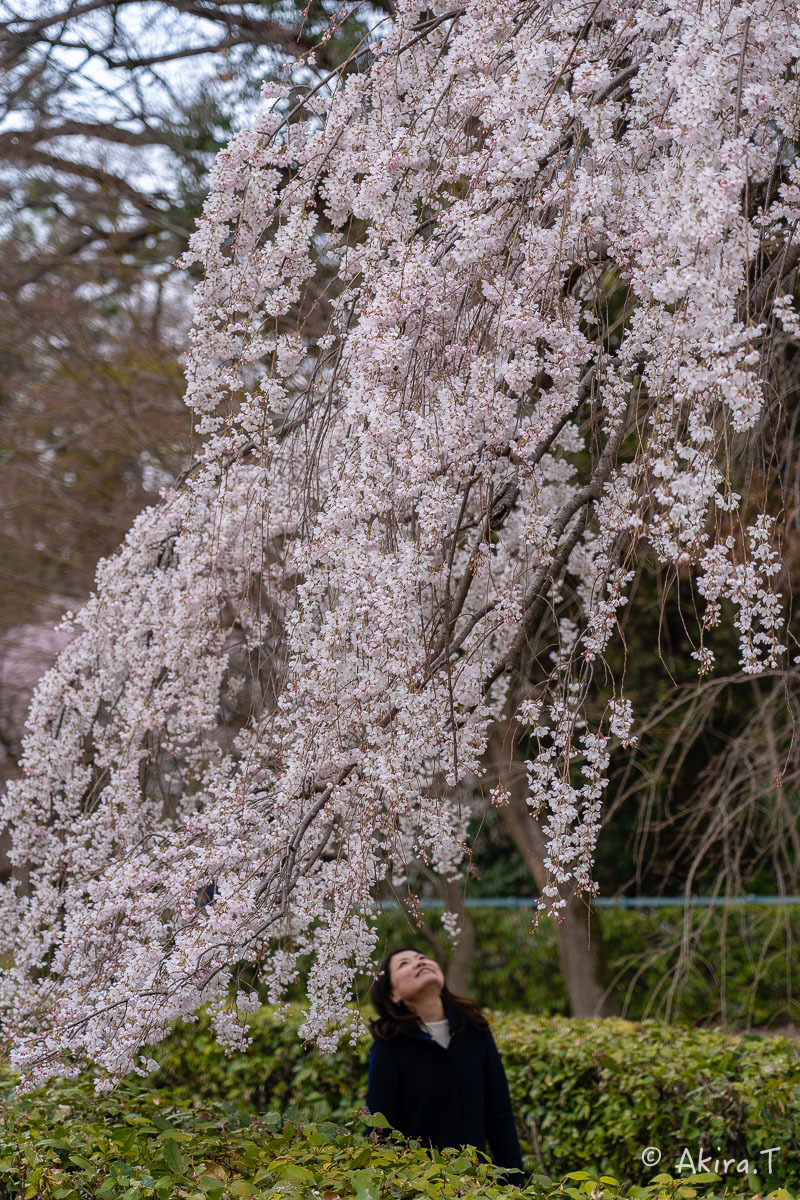京都の桜 2019 〜2〜_f0152550_21075334.jpg