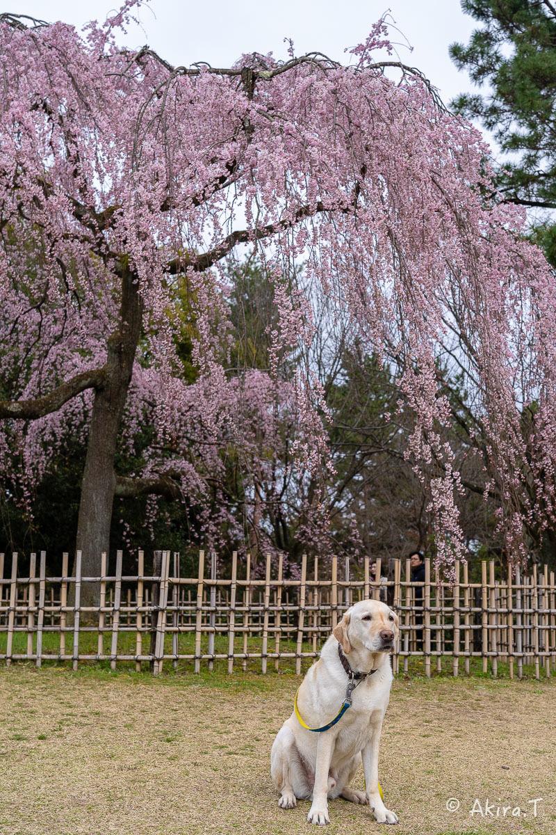 京都の桜 2019 〜2〜_f0152550_21083848.jpg