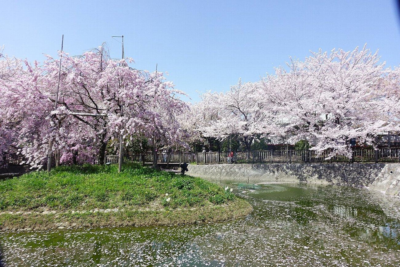 高槻市 筒井池公園の桜_c0112559_08081175.jpg
