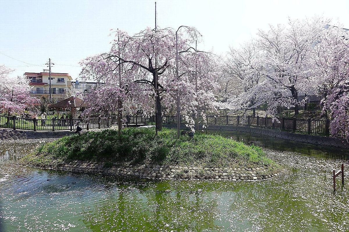 高槻市 筒井池公園の桜_c0112559_08084507.jpg