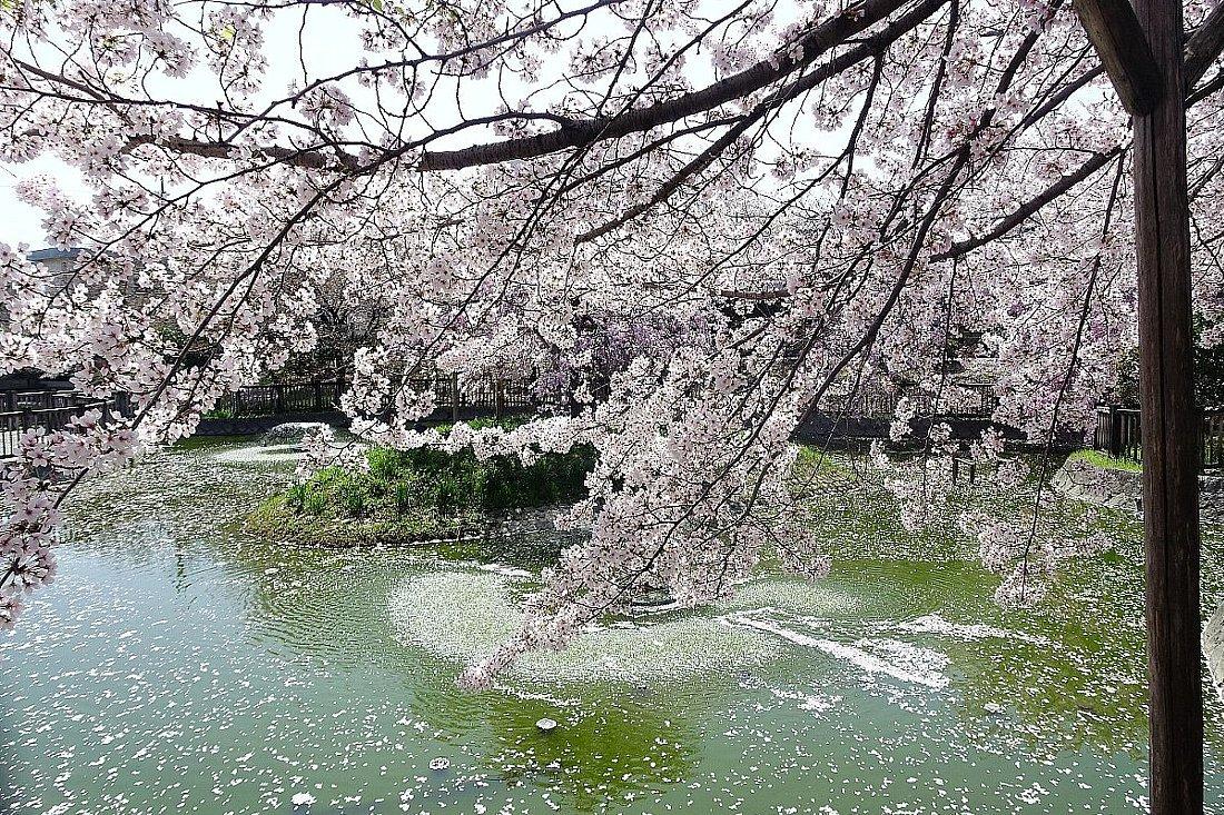 高槻市 筒井池公園の桜_c0112559_08091383.jpg