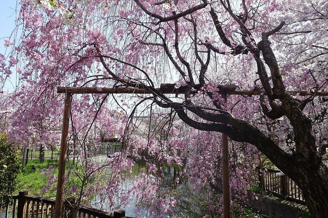 高槻市 筒井池公園の桜_c0112559_08101487.jpg