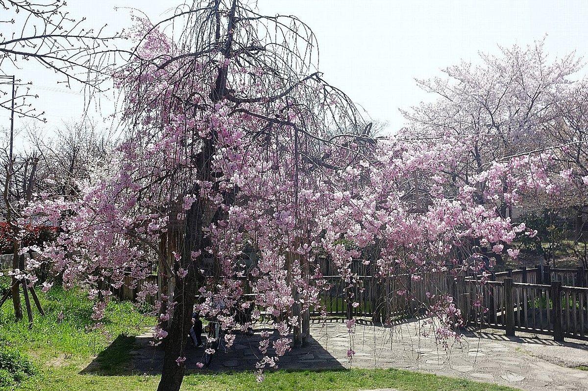 高槻市 筒井池公園の桜_c0112559_08110175.jpg