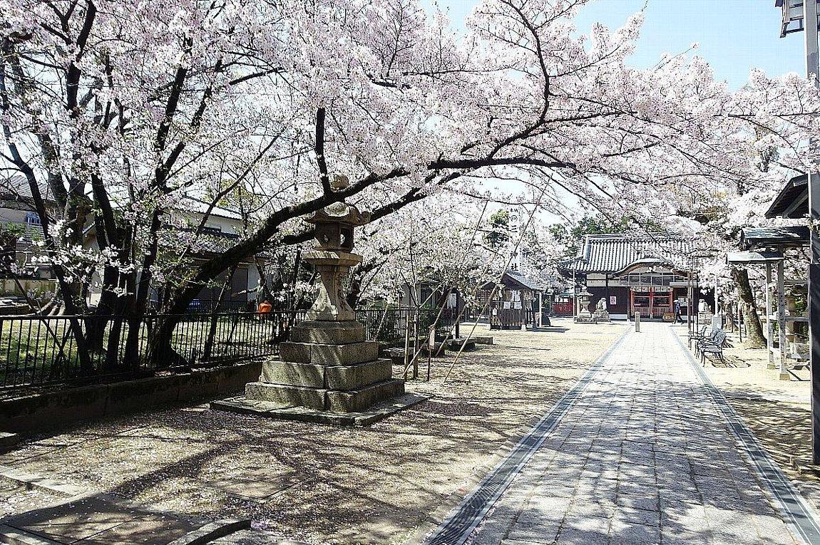 高槻市 筒井池公園の桜_c0112559_08112042.jpg