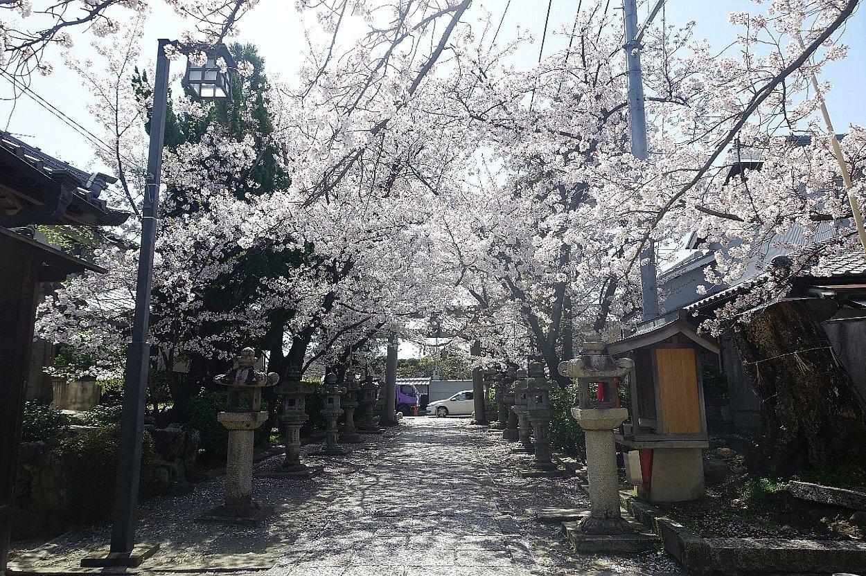 高槻市 筒井池公園の桜_c0112559_08121758.jpg