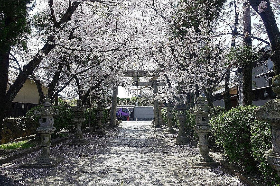 高槻市 筒井池公園の桜_c0112559_08123507.jpg
