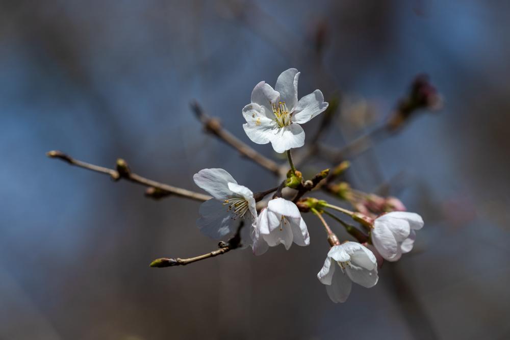 山桜_a0261169_18494286.jpg