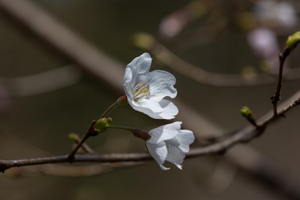 山桜_a0261169_18502532.jpg