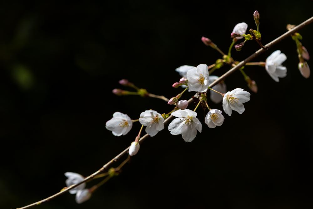 山桜_a0261169_18504565.jpg