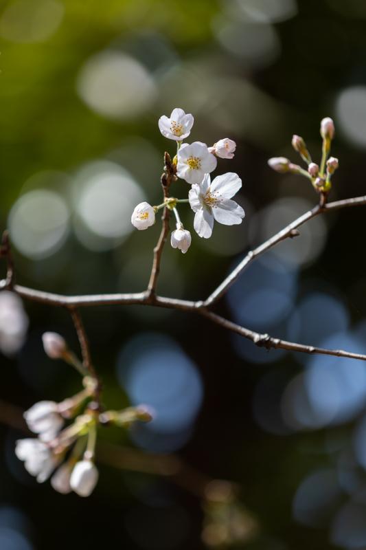 山桜_a0261169_18511712.jpg