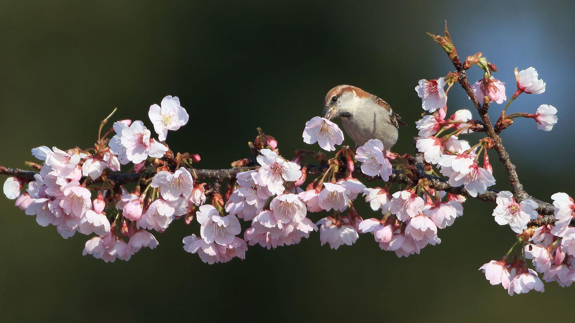 ちょうど一年前のニュウナイスズメと桜_f0105570_21313829.jpg