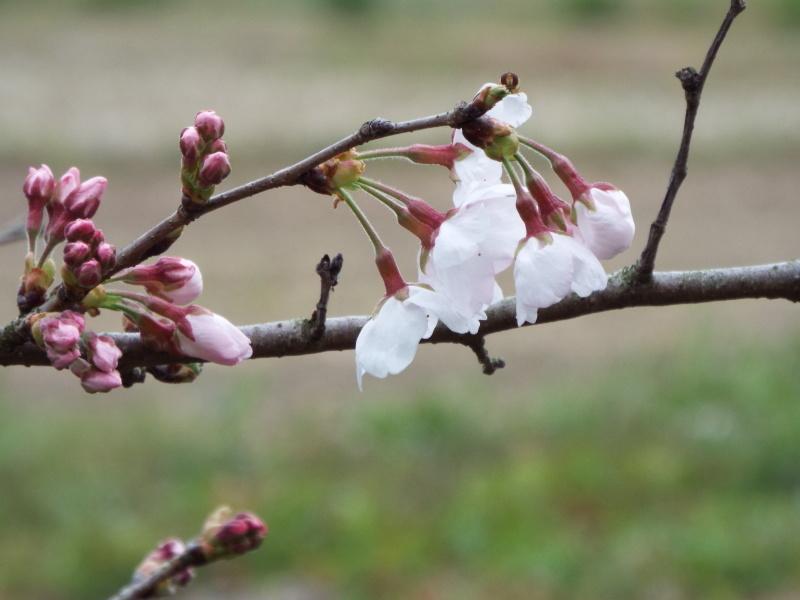 自宅の桜の開花を宣言します_c0329378_19233008.jpg