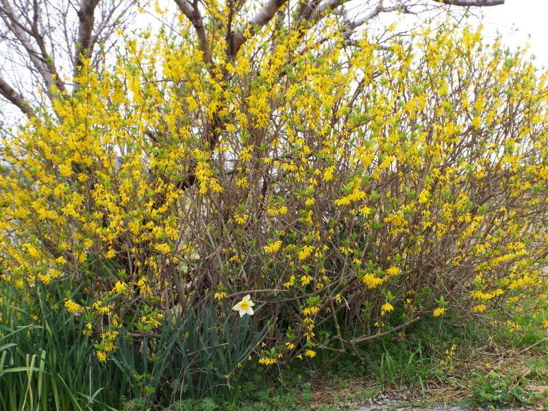 自宅の桜の開花を宣言します_c0329378_19251302.jpg