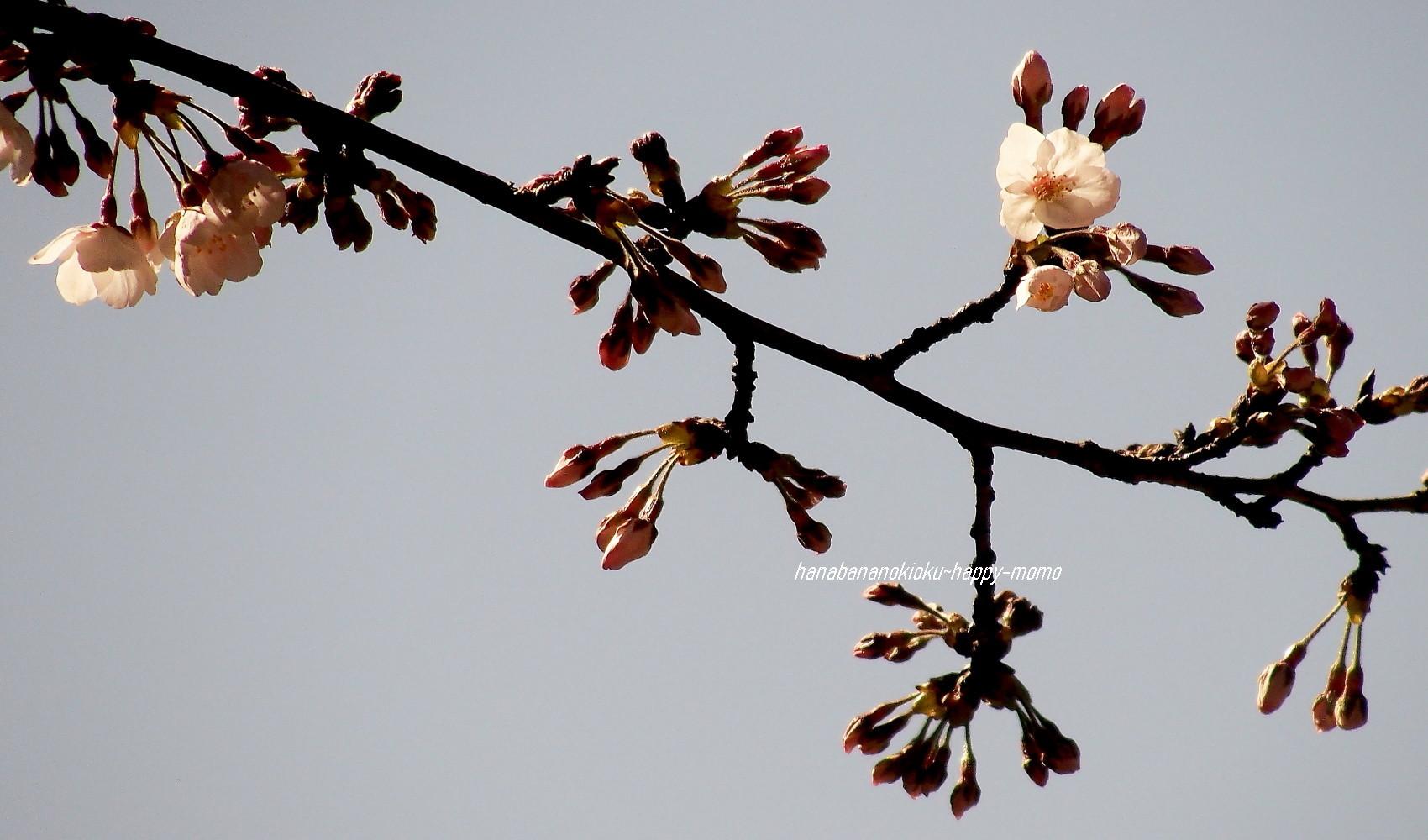 染井吉野が咲いた日_c0357781_16582120.jpg