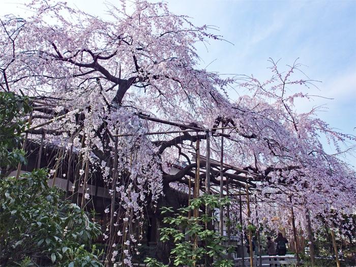 桜物語 2019 春 その2 玉蔵院_d0016587_20324358.jpg