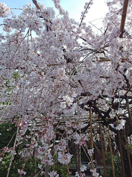 桜物語 2019 春 その2 玉蔵院_d0016587_20325311.jpg