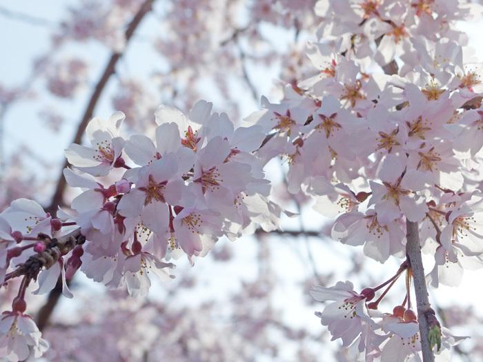 桜物語 2019 春 その2 玉蔵院_d0016587_20330838.jpg