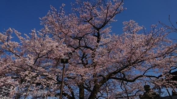 3/24 大光寺 江戸彼岸桜 @八王子市_b0042308_05583239.jpg