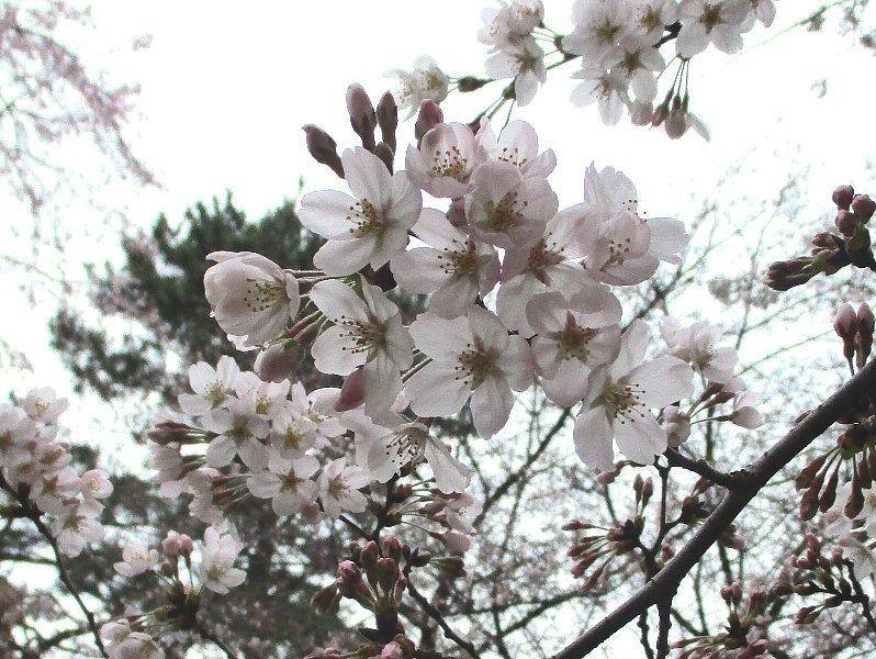 大宮公園の桜_a0138609_14423084.jpg