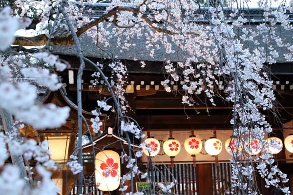 魁(さきがけ)ざくら 平野神社_e0048413_20584296.jpg