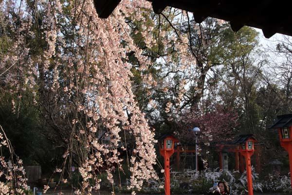 魁(さきがけ)ざくら 平野神社_e0048413_20585535.jpg
