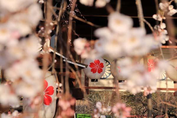 魁(さきがけ)ざくら 平野神社_e0048413_20594849.jpg
