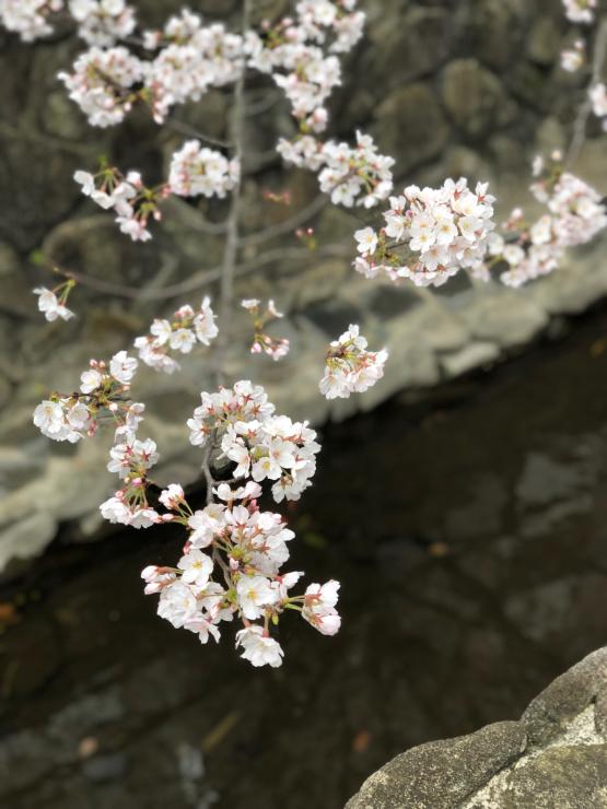 開花って言いますけど(近所ではなく)_b0317723_13215612.jpg