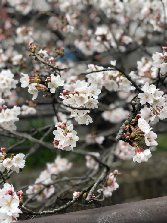 開花って言いますけど(近所ではなく)_b0317723_13315367.jpg