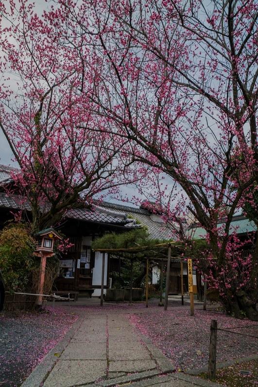 下御霊神社の八重の紅梅_e0363038_15122578.jpg