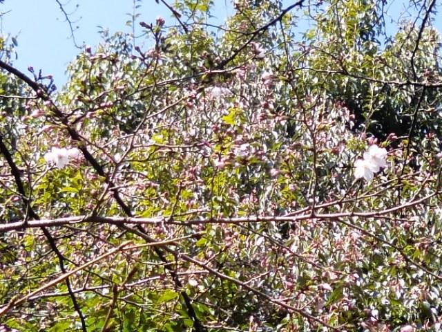 桜咲く_e0230141_10462709.jpg