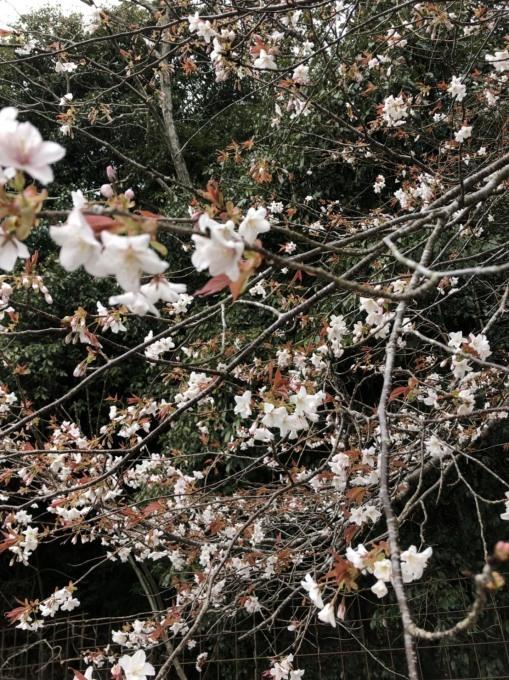 桜咲くー♪_b0328361_22144085.jpg