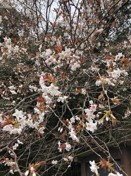 桜咲くー♪_b0328361_22150392.jpg