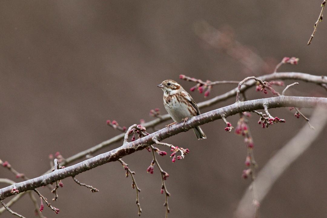 枝垂れ桜のカシラダカ_e0071967_13435692.jpg