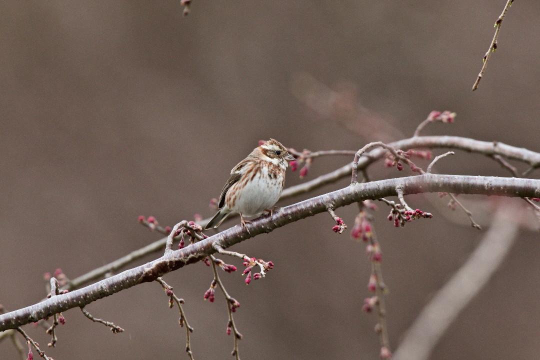 枝垂れ桜のカシラダカ_e0071967_1343599.jpg