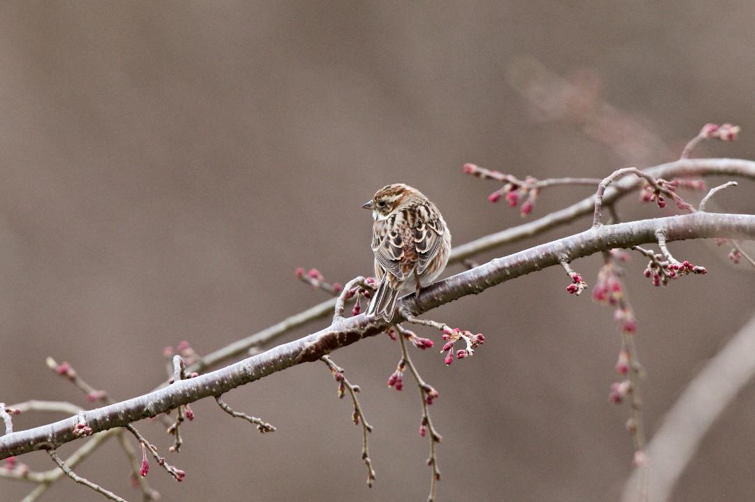 枝垂れ桜のカシラダカ_e0071967_13441120.jpg