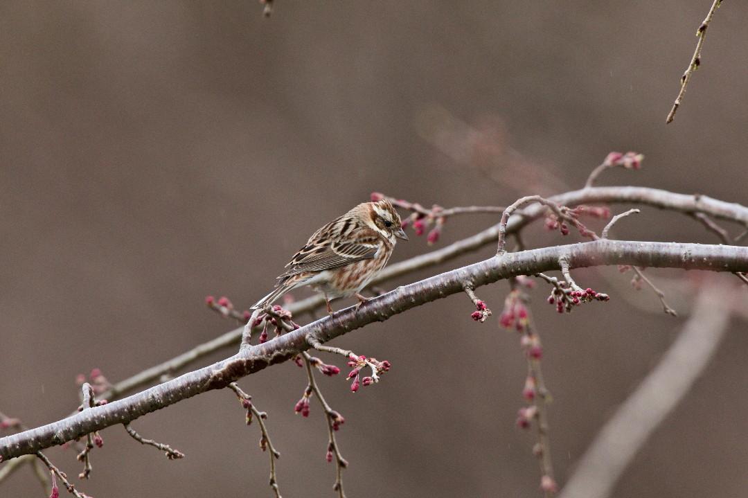 枝垂れ桜のカシラダカ_e0071967_1344186.jpg