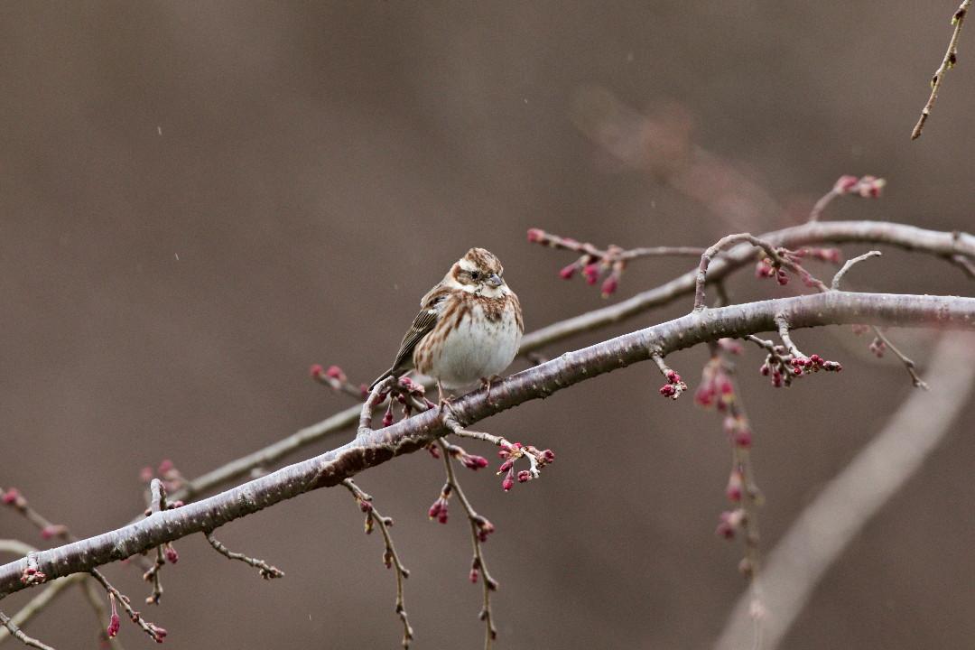 枝垂れ桜のカシラダカ_e0071967_1344672.jpg